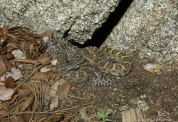 Eve & kids (Arizona black rattlesnakes)