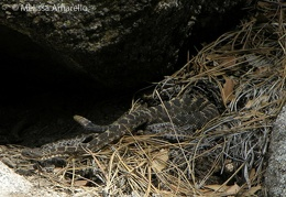 Alice & kids (Arizona black rattlesnakes)