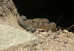 Male and female Arizona black rattlesnake