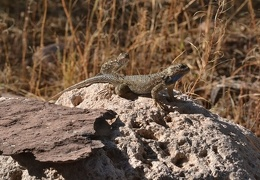A pair of Clark's spiny lizards hanging out in the yard