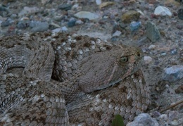 Henry, western diamond-backed rattlesnake (Crotalus atrox)