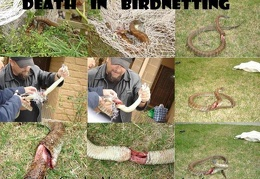 Death in Birdnetting