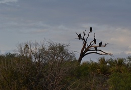 Turkey Vultures at Sunset