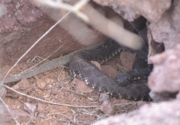 Luna, female Arizona black rattlesnake