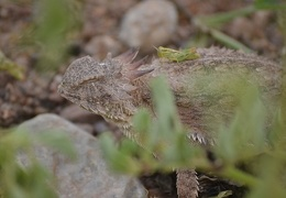 Regal horned lizard (Phrynosoma solare)