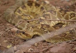 DoubleR and Porter, black-tailed rattlesnakes courting