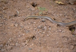 Western patch-nosed snake hunting for whiptail lizards.
