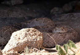 Scar, male western diamondbacked rattlesnake